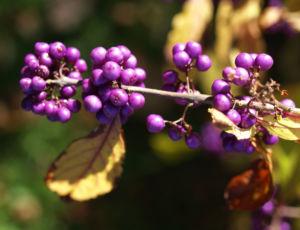 Liebesperlen Strauch Frucht violett Callicarpa japonica 05