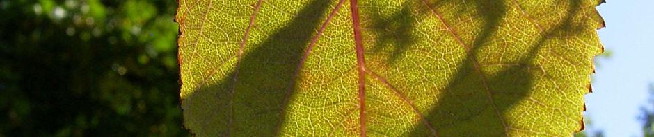 liebesperlen-strauch-frucht-lila-callicarpa