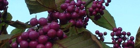 Anklicken um das ganze Bild zu sehen Liebesperlen Strauch Frucht lila Callicarpa