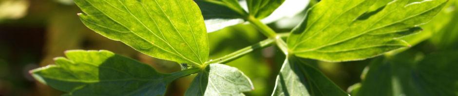 Anklicken um das ganze Bild zu sehen Liebstöckel Maggikraut Blatt grün Levisticum officinale