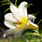 Lilie Bluete weiss Lilium auratum 02