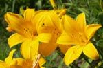 Bild: Lilie schlüsselförmig Blüte gelb Lilium connecticut king
