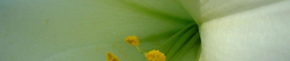 lilie-bluete-weiss-lilium