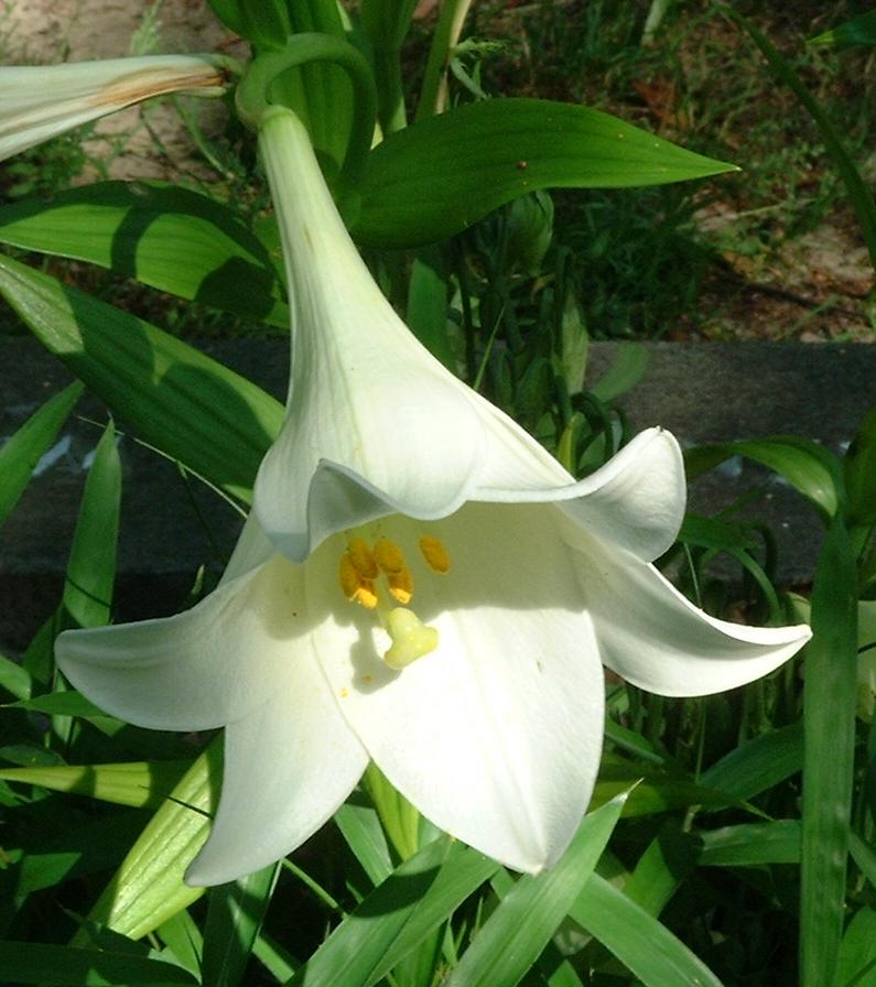 Lilie weiss Lilium