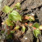 Bild: Sommer-Linde Blattknospe Tilia platyphyllos