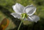 Lindleys Birne Bluete weiß Pyrus lindleyi 07