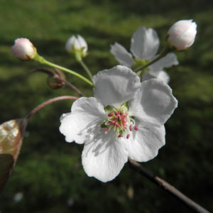 Lindleys Birne Bluete weiß Pyrus lindleyi 09