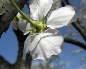 Lindleys Birne Bluete weiß Pyrus lindleyi 16
