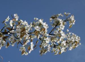 Lindleys Birne Bluete weiß Pyrus lindleyi 18