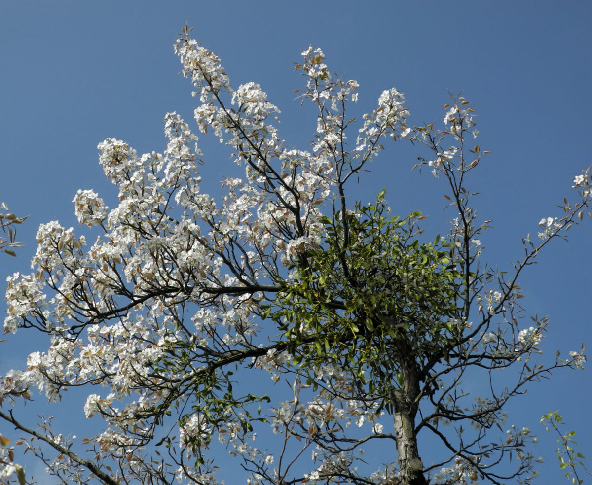 Lindleys Birne Bluete weiß Pyrus lindleyi