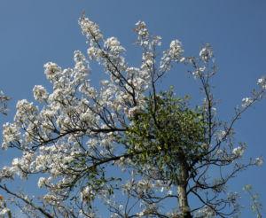 Lindleys Birne Bluete weiß Pyrus lindleyi 21