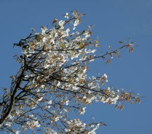 Lindleys Birne Bluete weiß Pyrus lindleyi 23