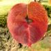 Zurück zum kompletten Bilderset Lindleys Birne Rinde Blatt - Pyrus lindleyi