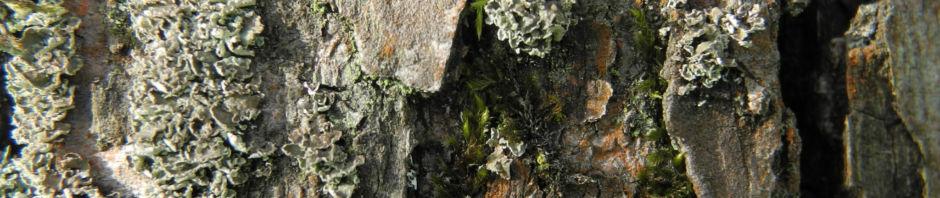 Anklicken um das ganze Bild zu sehen Lindleys Birne Blüte weiß Pyrus lindleyi