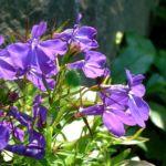 Lobelie blau Lobelia erinus 01