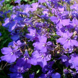 Lobelie blau Lobelia erinus 03