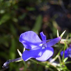 Lobelie blau Lobelia erinus 06