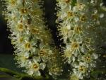 Lorbeerkirsche Bluete weiss Prunus laurocerasus 03