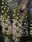 Lorbeerkirsche Bluete weiss Prunus laurocerasus 05