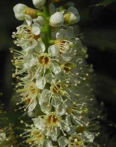 Lorbeerkirsche Bluete weiss Prunus laurocerasus 06