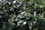 Lorbeerkirsche Bluete weiss Prunus laurocerasus 10