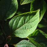 Losbaum Blatt gruen Clerodendrum trichotomum 02