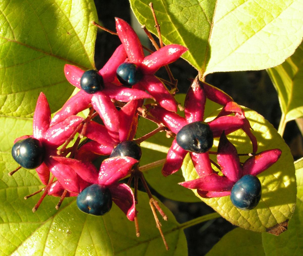 Losbaum Bluete rot Frucht blau Clerodendrum trichotomum