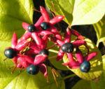 Losbaum Bluete rot Frucht blau Clerodendrum trichotomum 02