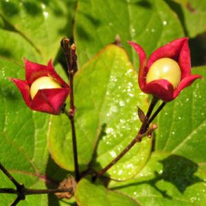 Losbaum Bluete rot Frucht blau Clerodendrum trichotomum 03