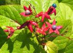 Bild: Losbaum Blüte rot Frucht blau Clerodendrum trichotomum
