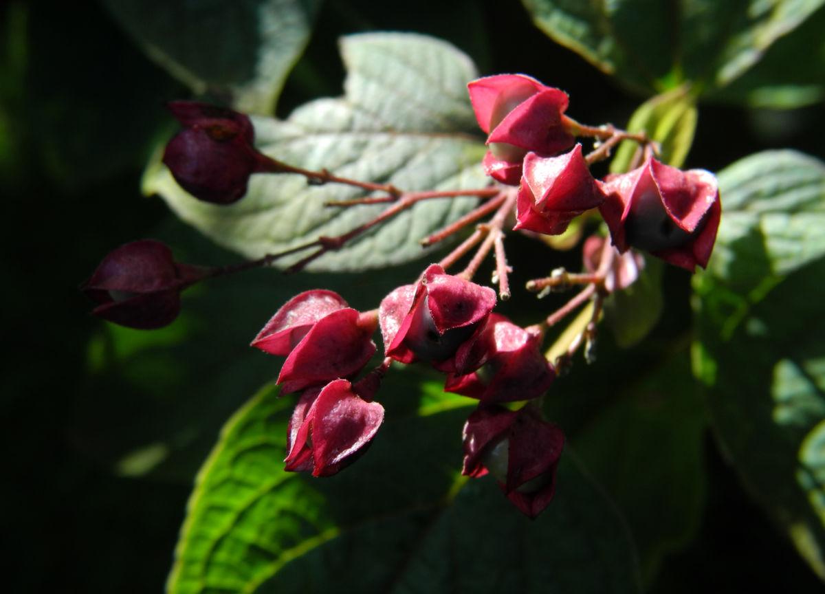 Losbaum Bluete weiß rot Clerodendrum trichotomum