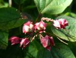 Losbaum Bluete weiß rot Clerodendrum trichotomum 04