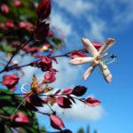 Losbaum Bluete weiß rot Clerodendrum trichotomum 10
