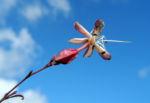 Losbaum Bluete weiß rot Clerodendrum trichotomum 12