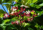Bild: Losbaum Blüte weiß rot Clerodendrum trichotomum