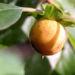 Zurück zum kompletten Bilderset Lotuspflaume Frucht gelblich Diospyros-lotus