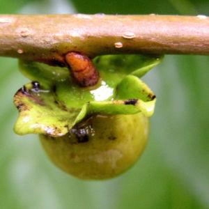 Lotus Pflaume Frucht gelblich Diospyros lotus 02
