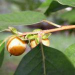 Lotus Pflaume Frucht gelblich Diospyros lotus 03