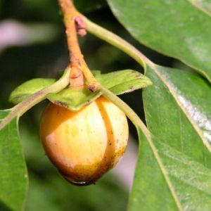 Lotus Pflaume Frucht gelblich Diospyros lotus 04
