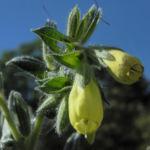 Lotwurz Goldtropfen Bluete gelb Onosma rigida 04