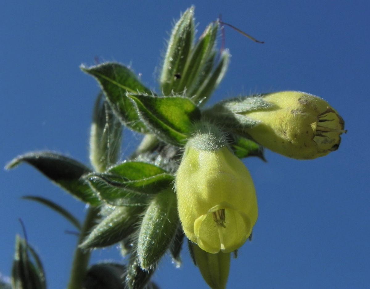 Lotwurz Goldtropfen Bluete gelb Onosma rigida