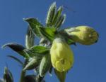 Lotwurz Goldtropfen Bluete gelb Onosma rigida 05