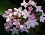 Luculia Sweet Busch Bluete rose Luculia gratissima 03