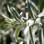 Ludwigs Beifuss Blatt weisslich Artemisia udoviciana 04