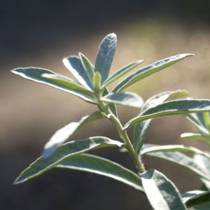 Bild: Ludwigs Beifuss Blatt weisslich Artemisia udoviciana
