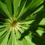 Lupine Blatt Lupinus 03