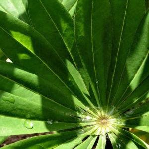 Lupine Blatt Lupinus 04