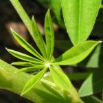 Lupine Blatt Lupinus 05
