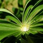 Lupine Blatt Lupinus 06