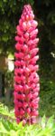 Lupine Bluete rot Lupinus 02